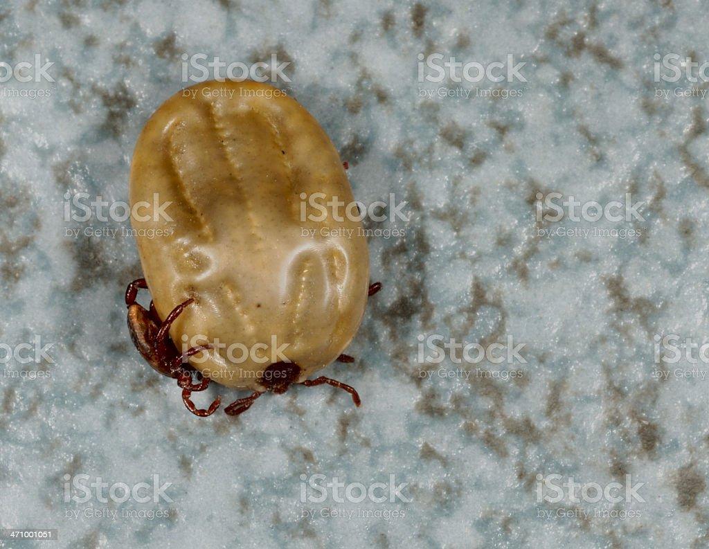 Pair of Ticks royalty-free stock photo