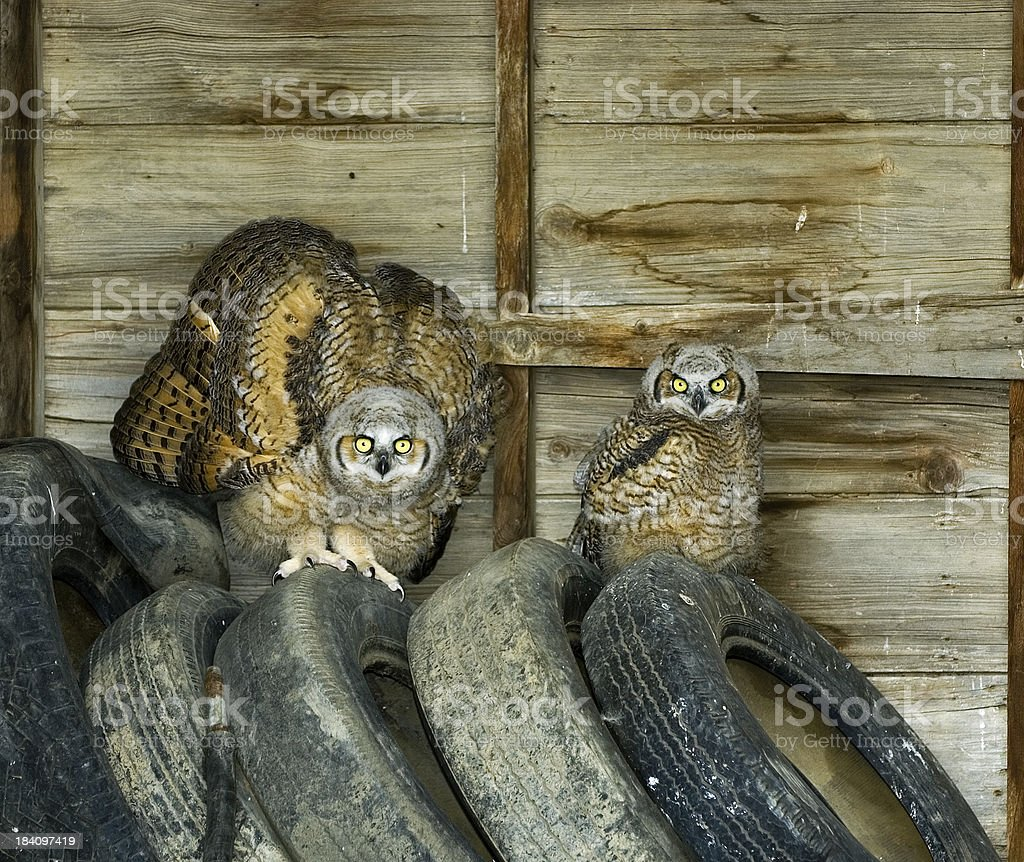 pair of tired owl chicks royalty-free stock photo