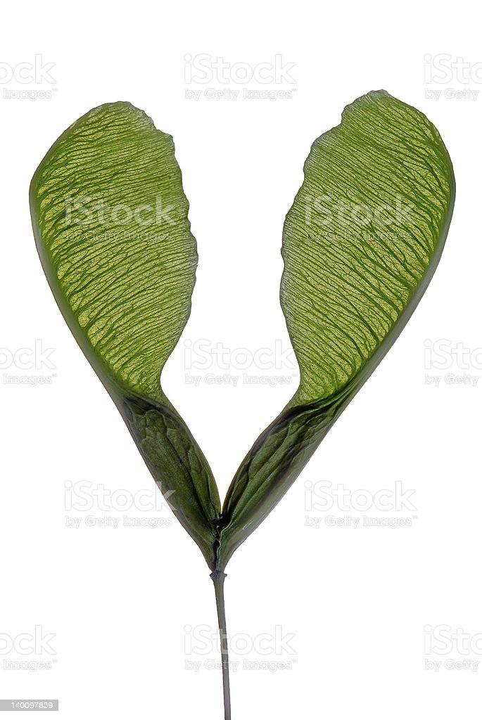 pair of tree seeds royalty-free stock photo