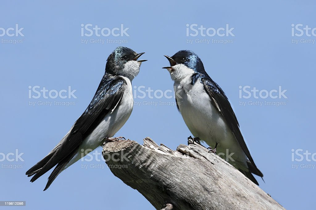 Pair of Tree Swallows on a stump royalty-free stock photo