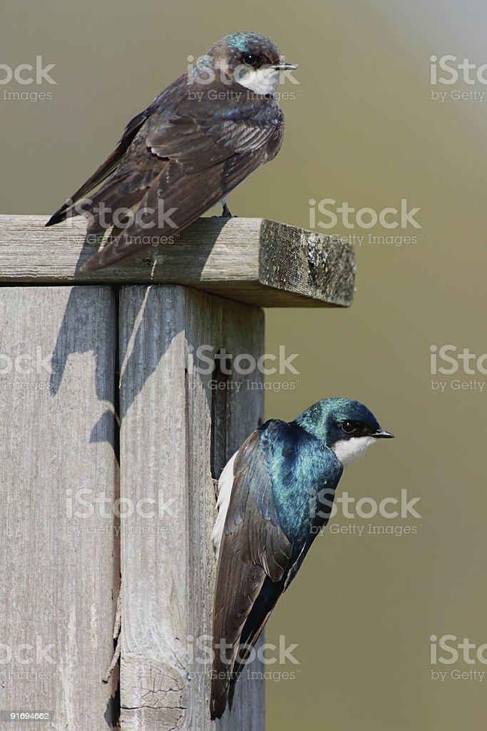 Pair of Tree Swallows royalty-free stock photo