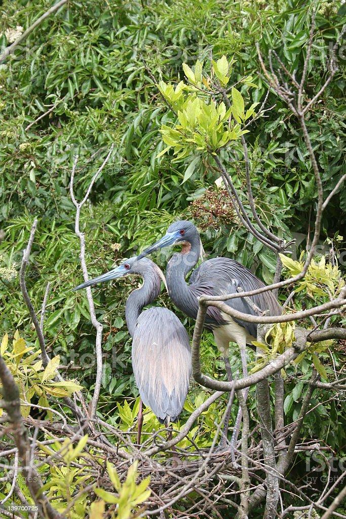 Par de tres colores Garzas en Nest foto de stock libre de derechos