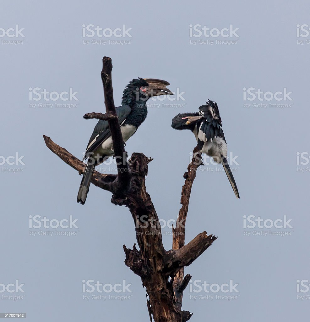 Pair of Trumpeter Hornbills, Bycanistes bucinator, Zambia, Africa stock photo