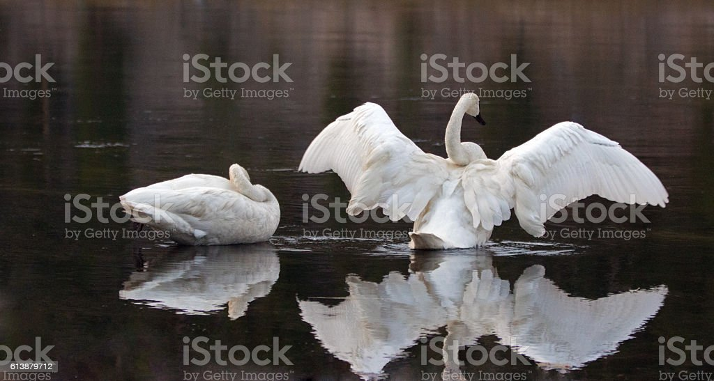 Pair of Trumpeter Swans spreading their wings in Yellowstone River stock photo