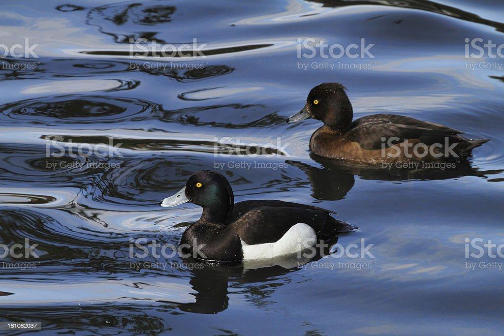Pair of tufted ducks swimming in liquid blue stock photo