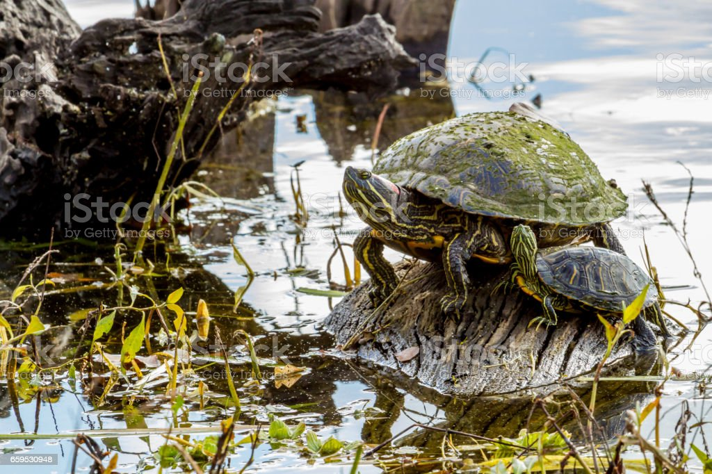 A Pair of Turtles at Brazos Bend Texas. stock photo