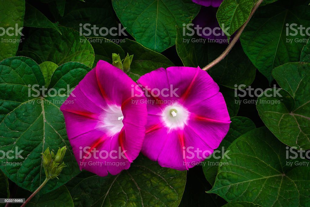 pair of two fuchsia, (magenta) morning glories in Post Texas royalty-free stock photo