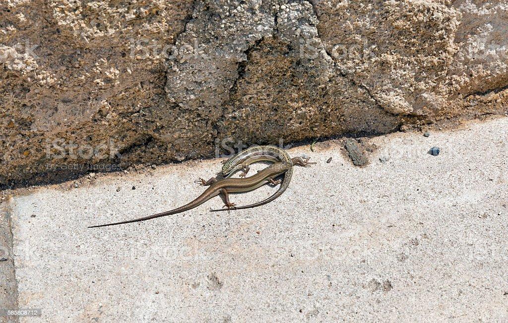 Pair of viviparous lizards stock photo