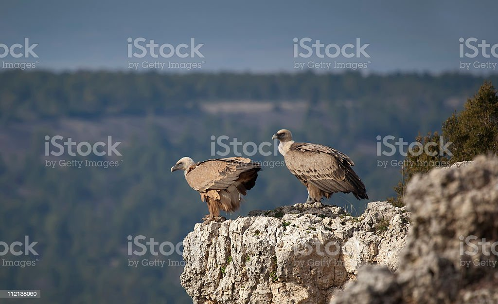 Pair of vultures stock photo