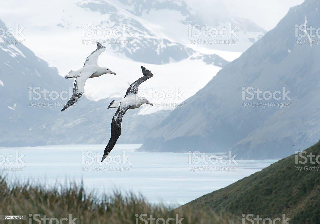 Pair of wandering albatrosses flying above grassy hill stock photo