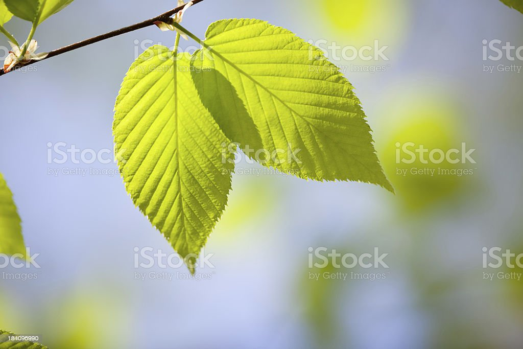 Pair of warm green beach leaves stock photo