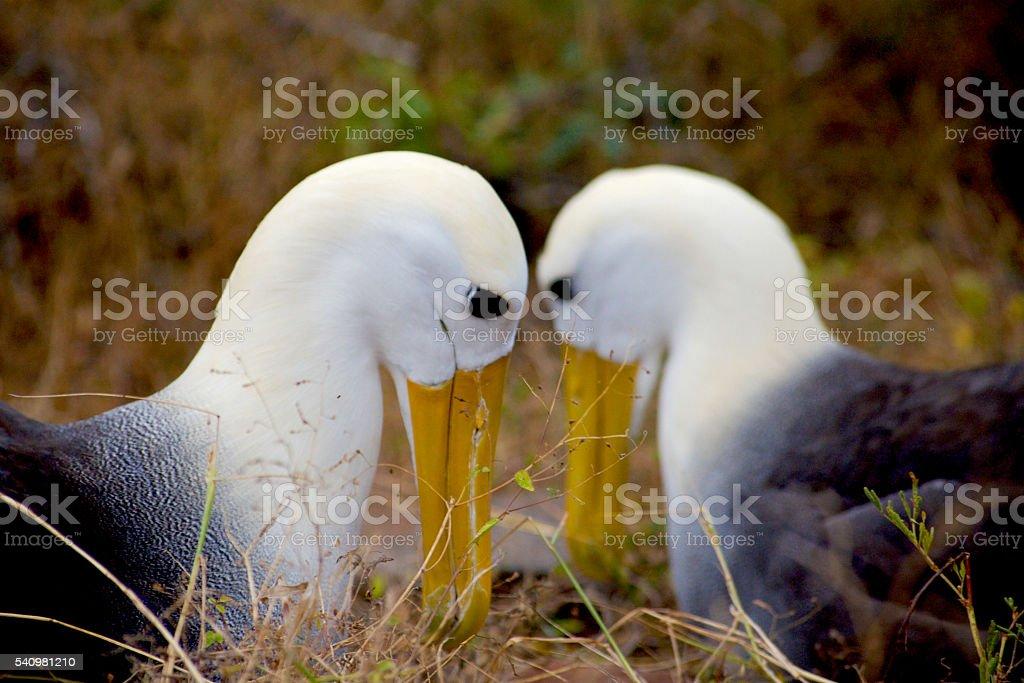 Pair of Waved Albatrosses stock photo