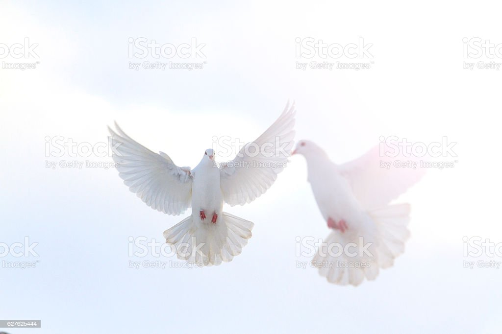 pair of white doves flying in the winter sky  sunny stock photo