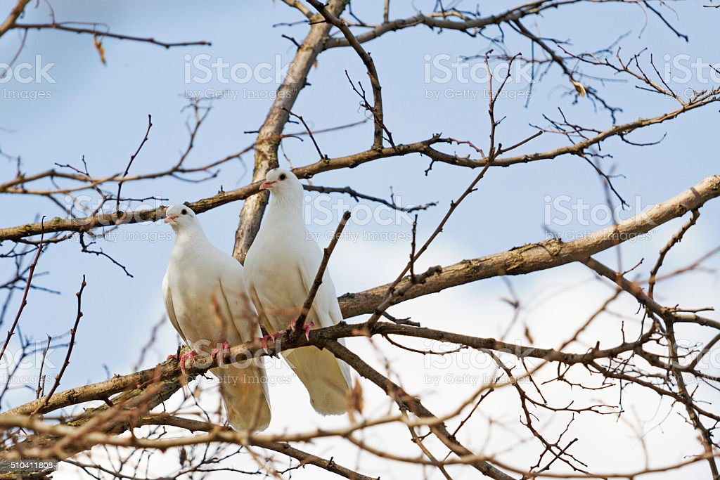 pair of white doves stock photo