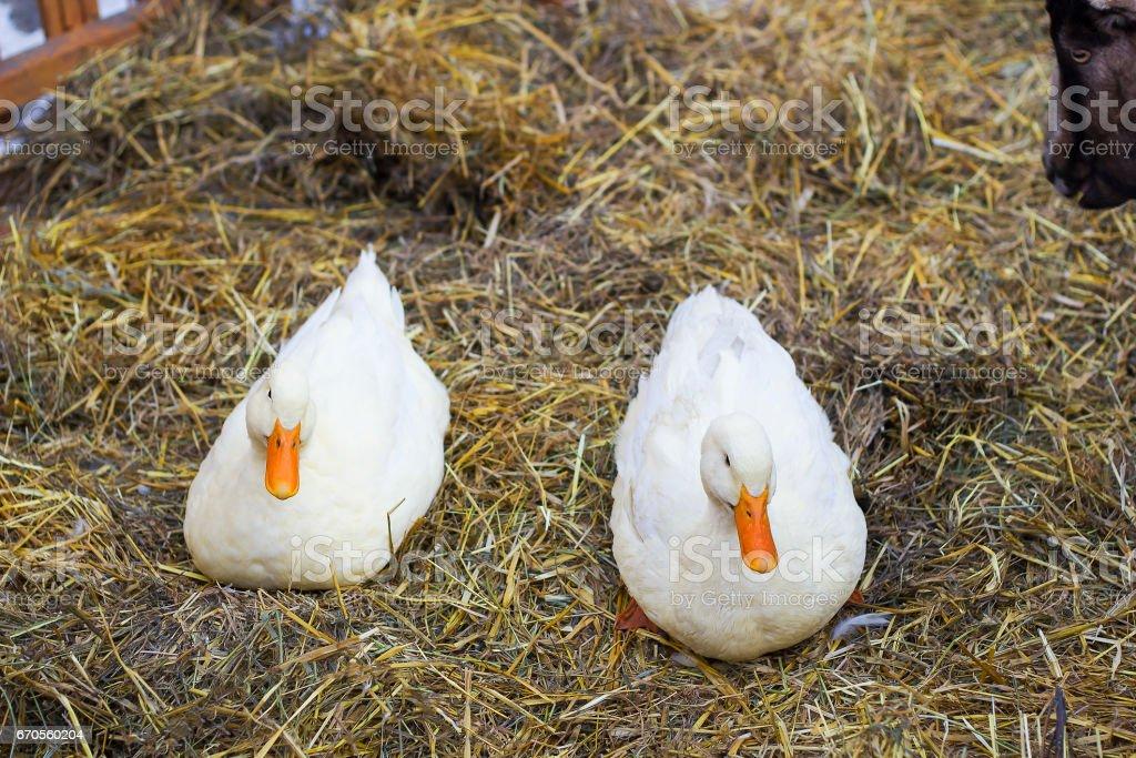 Pair of white ducks sitting on hay. Pair of Pekin duck stock photo