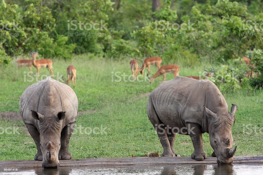 Pair of White rhinocerous drinking at a water point stock photo