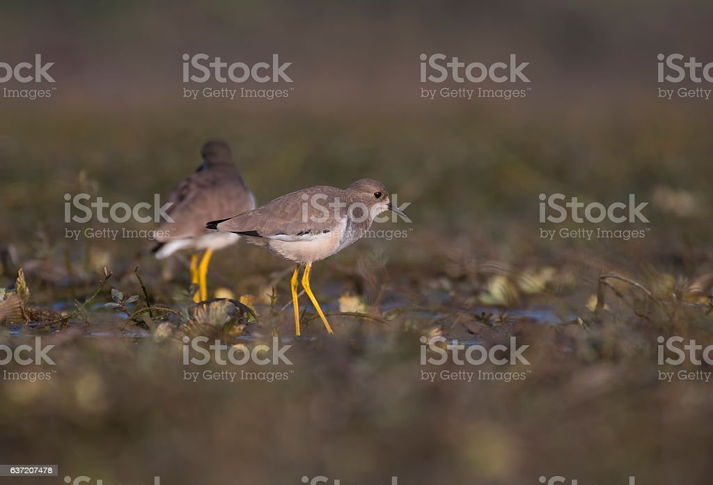 Pair of White-tailed lapwing (Vanellus leucurus) stock photo
