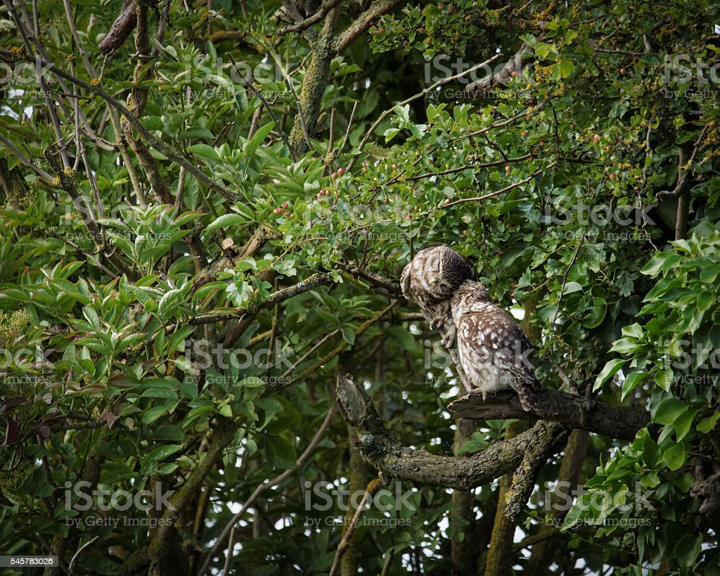 Pair of wild little owls preening each other (Athene noctua) stock photo