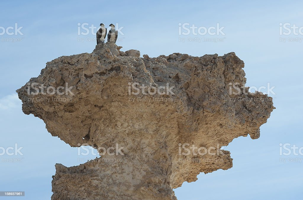 Pair of wild ospreys perched on a rock royalty-free stock photo