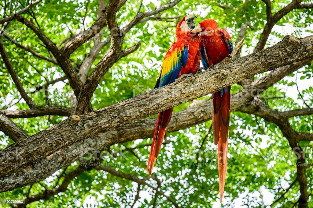 XXXL: Pair of wild scarlet macaws preening in a tree stock photo