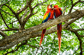XXXL: Pair of wild scarlet macaws preening in a tree
