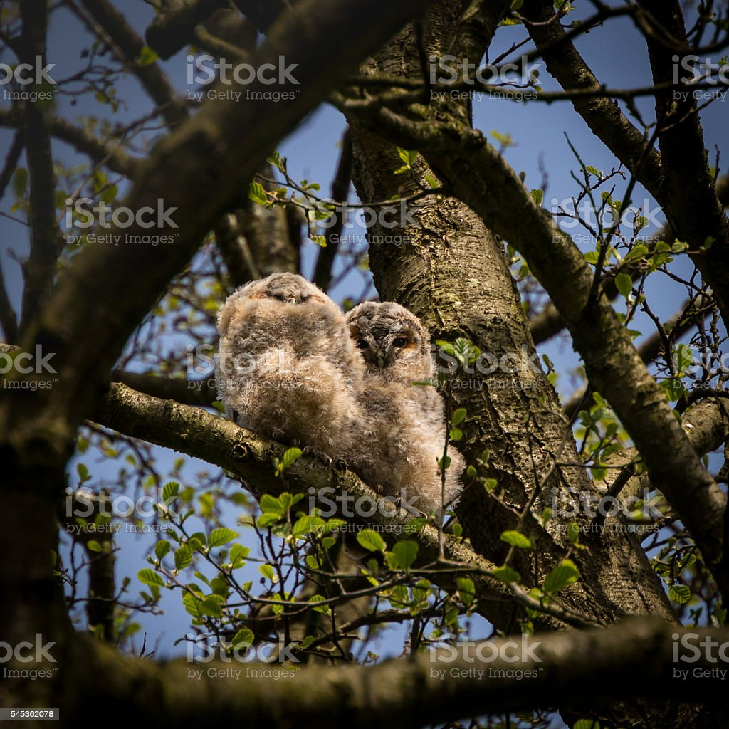 Pair of wild tawny owlets branching (Strix aluco) stock photo