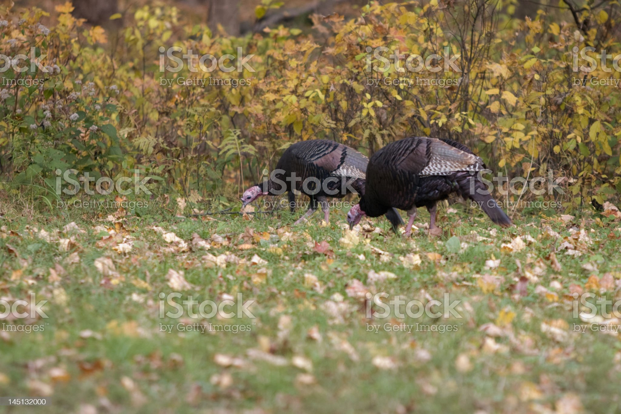 Pair of wild turkeys looking for food royalty-free stock photo