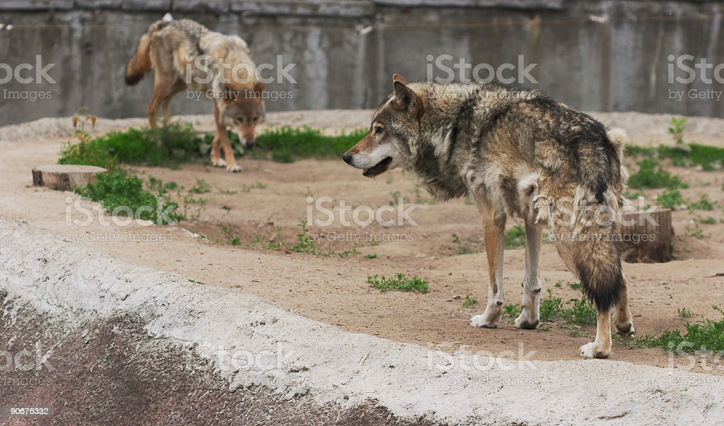 pair of wolfs stock photo