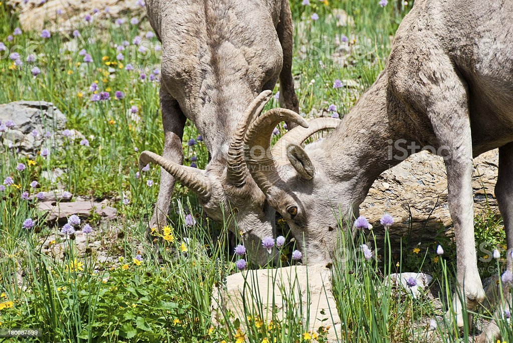 Pair of Young Bighorn Rams Jousting royalty-free stock photo