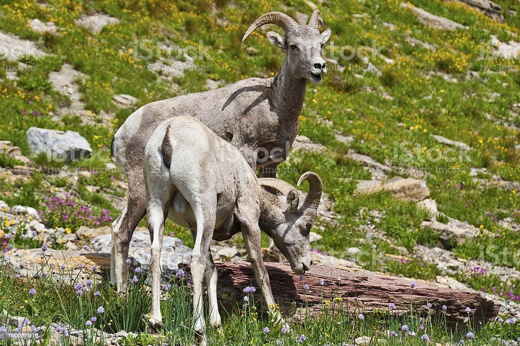 Pair of Young Bighorn Rams royalty-free stock photo
