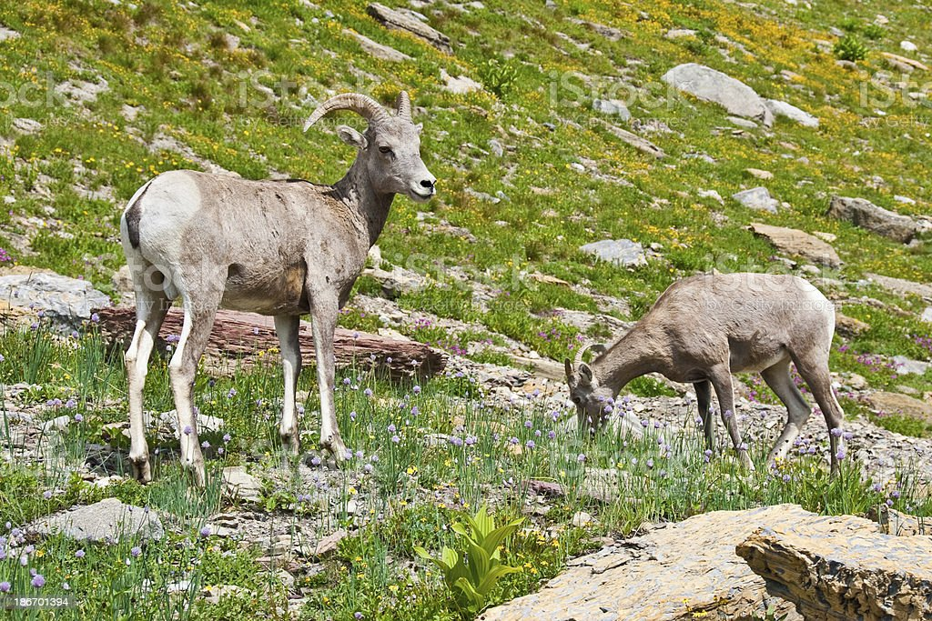 Pair of Young Bighorn Sheep royalty-free stock photo