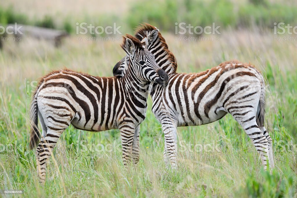 Pair of young zebra stock photo