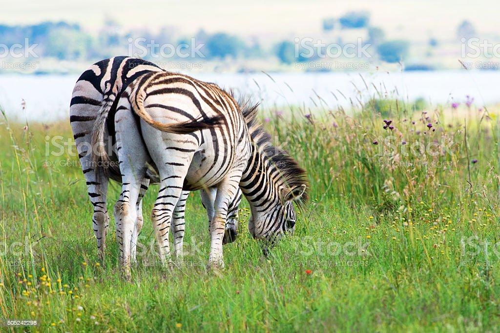 Pair of zebra grazing near dam stock photo