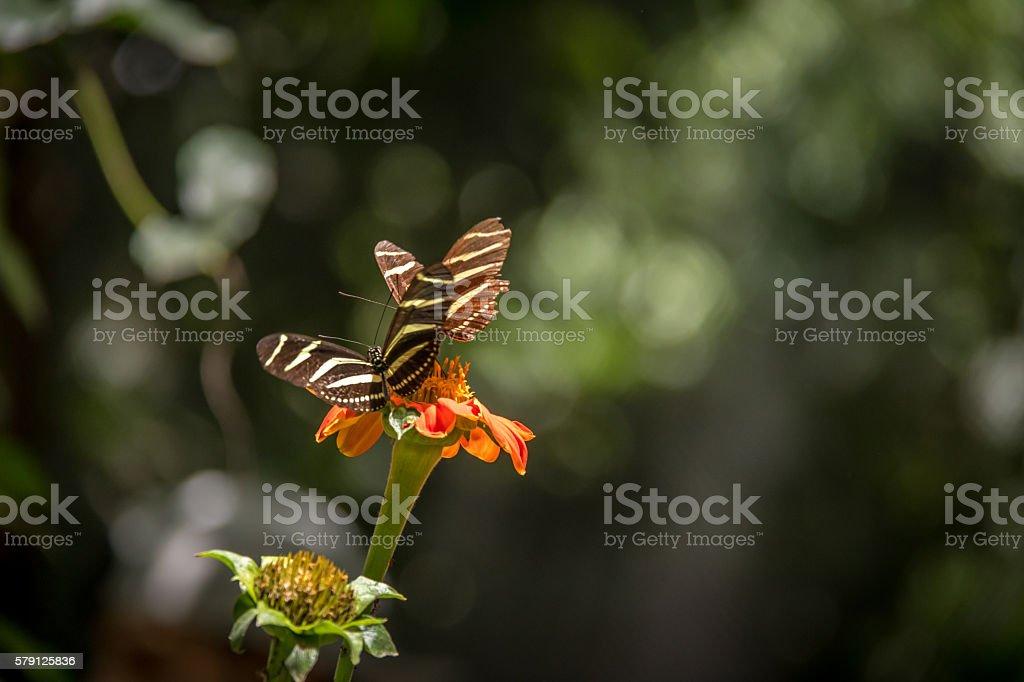 Pair of zebra longwings butterflies on a orange flower stock photo