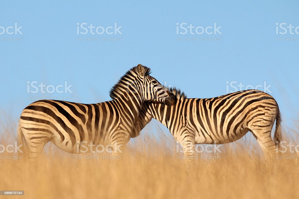 Pair of Zebras in the tall dry African grass stock photo
