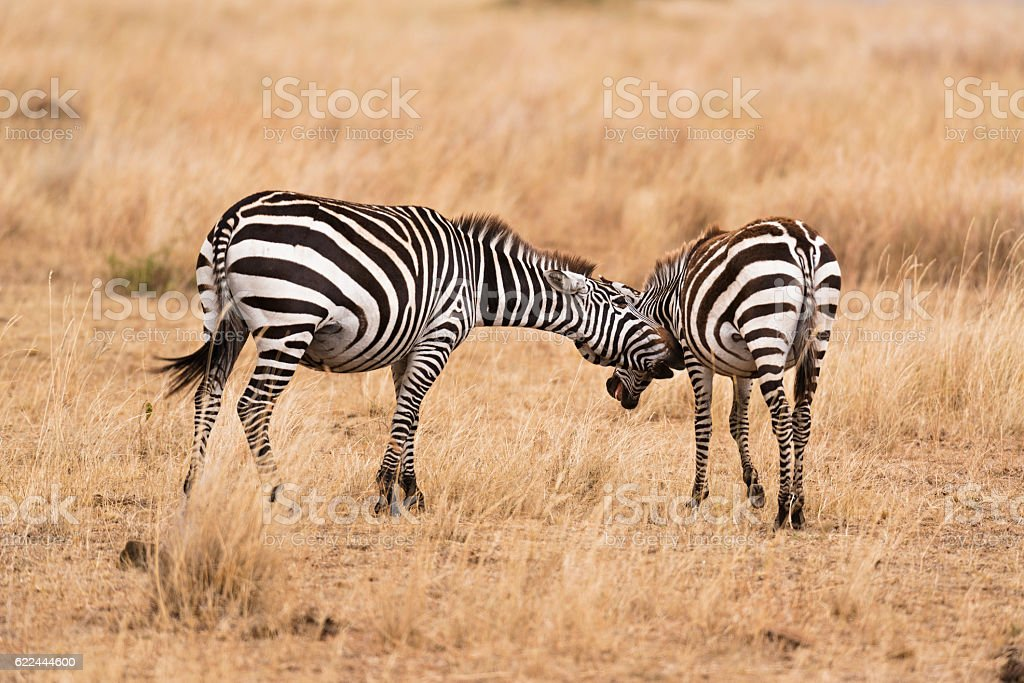 pair of zebras stock photo