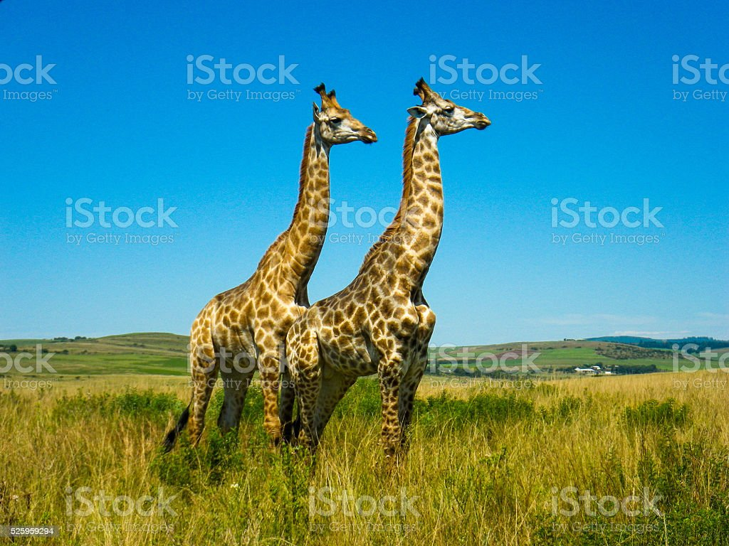 Pair Wild Giraffes (Giraffa Camelopardalis) African Grasslands stock photo