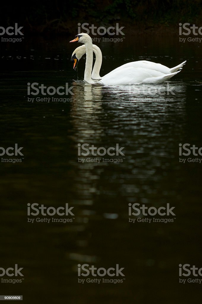 Paired swans royalty-free stock photo