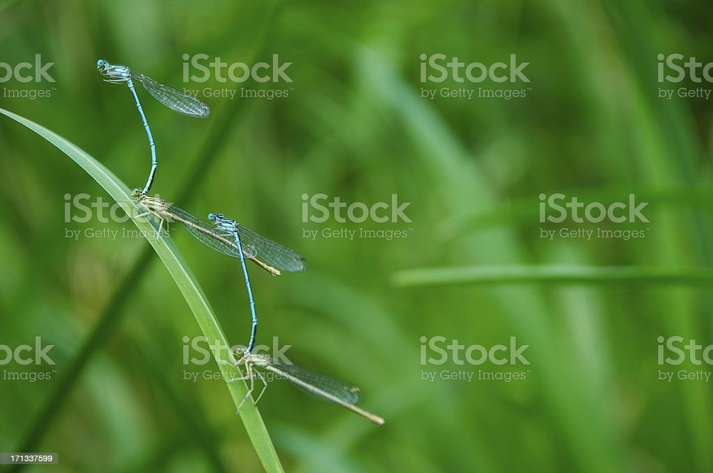 Pairing Dragonflies - Altm?hl, 2012 stock photo