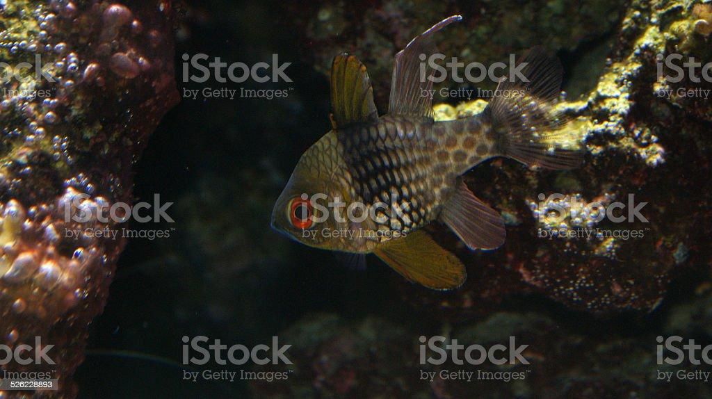 Pajama Cardinalfish stock photo