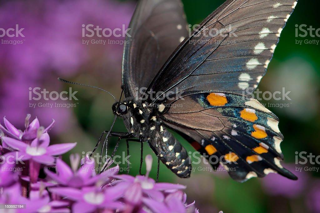 Palamedes Swallowtail royalty-free stock photo