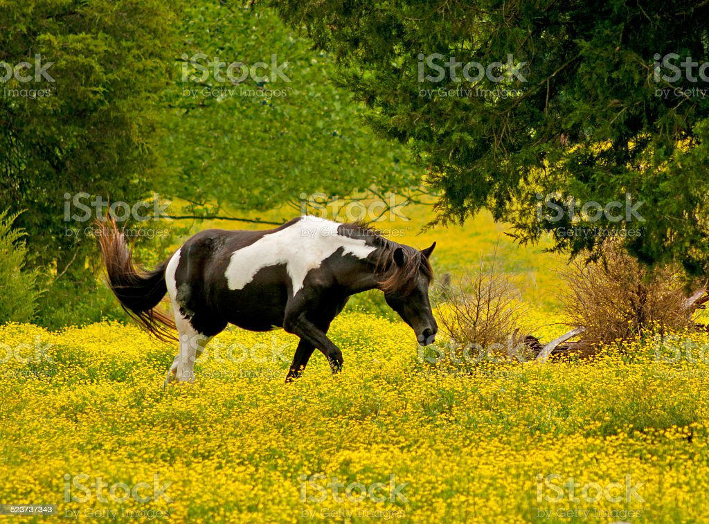 Palamino Horse in field of yellow wildflowers. stock photo