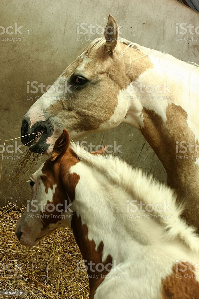palaminos mare and foal stock photo