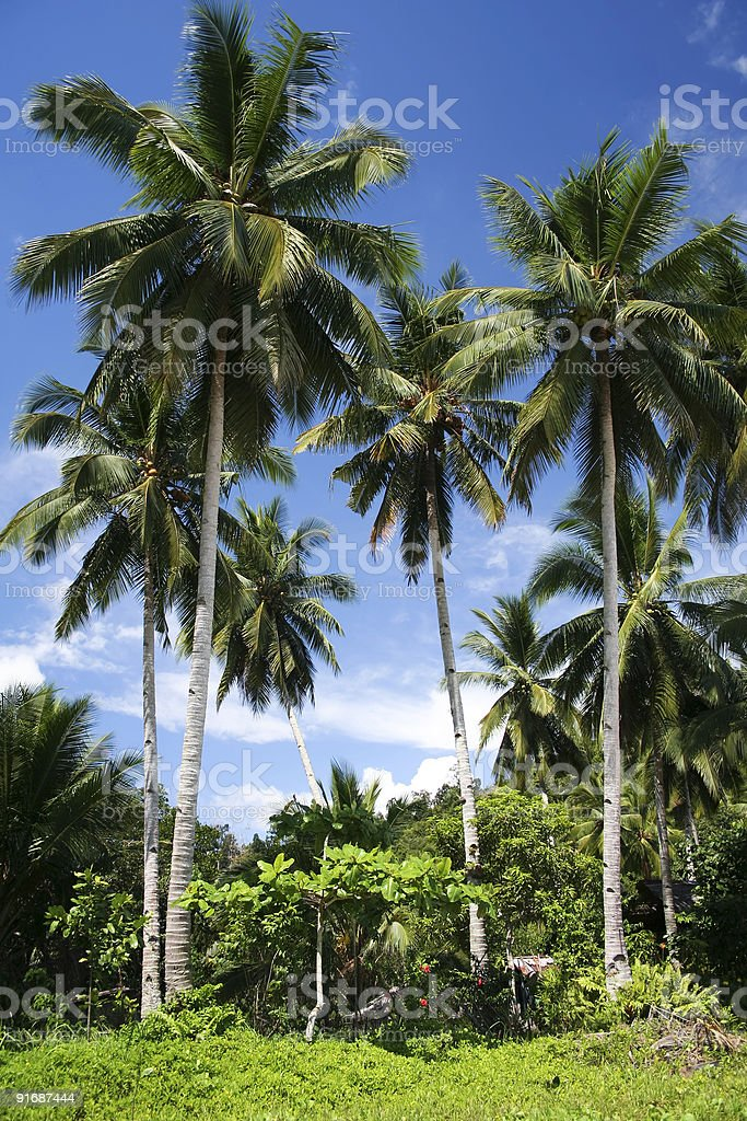 palawan island palm trees philippines royalty-free stock photo
