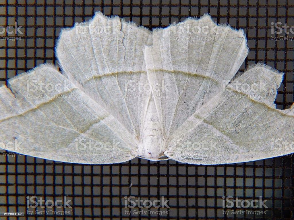 Pale Beauty Moth stock photo