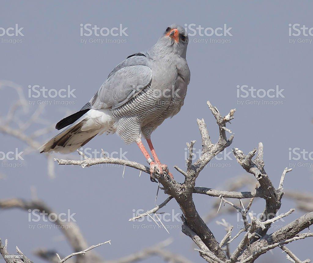 Pale Chanting Goshawk stock photo