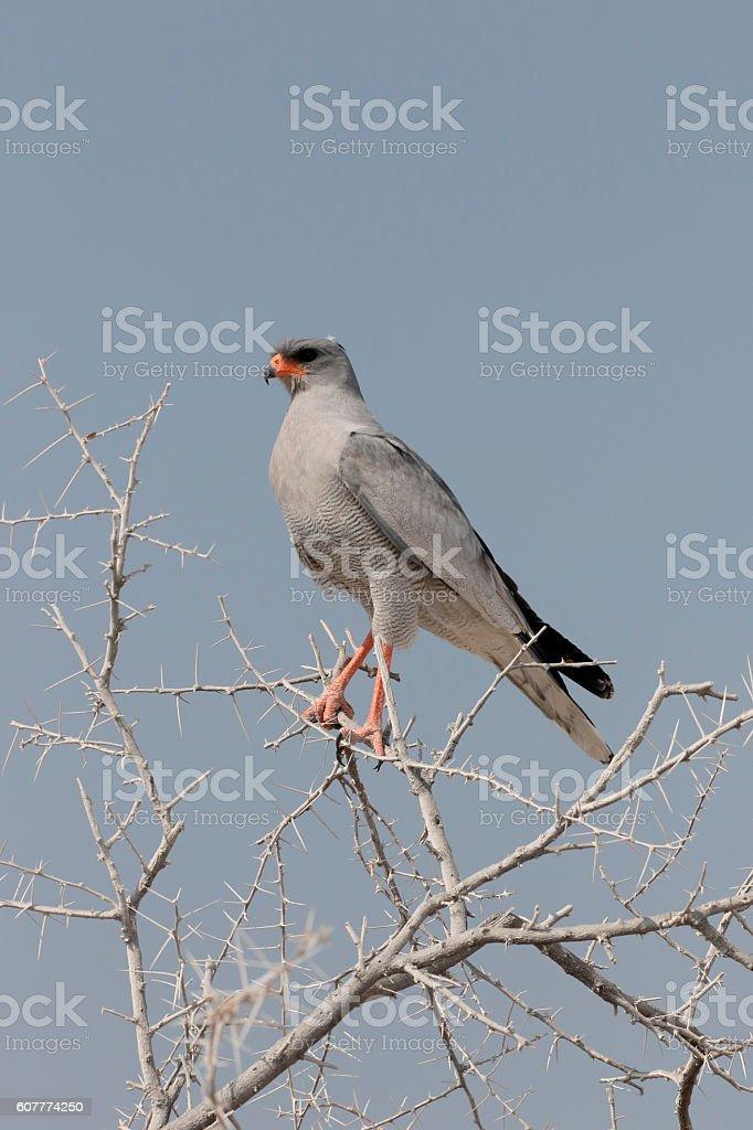 Pale chanting-goshawk, Melierax canorus stock photo