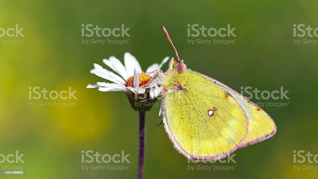 Pale clouded yellow on daisy stock photo
