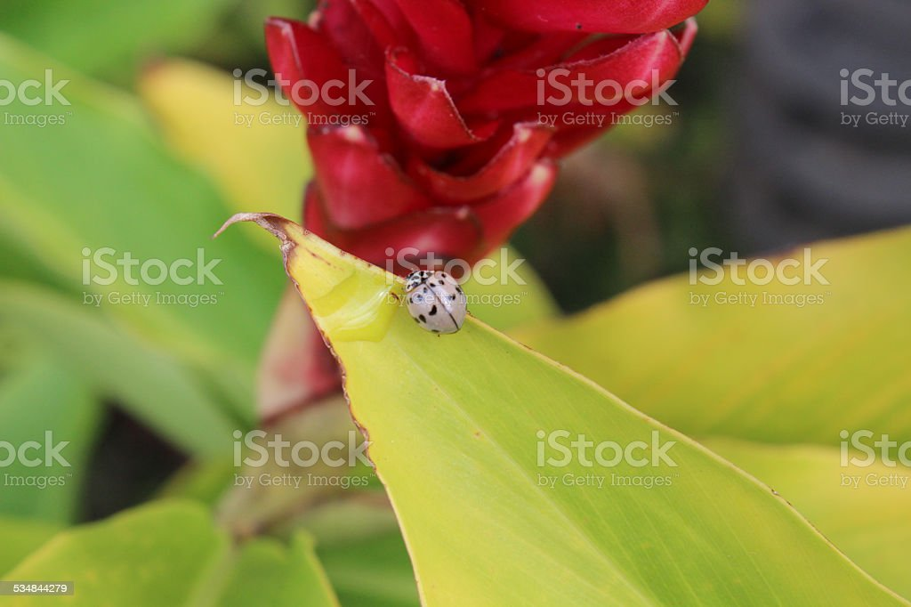 Pale Colored Lady Bug on Hawaiian Ginger Plant stock photo