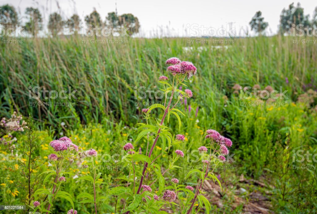 Pale dusty pink flowering hemp-agrimony and other wild plants in a marshy area stock photo